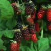 gettyimages-marionberry
