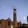 Oregonian Swifts