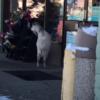 http://www.oregonlive.com/portland/index.ssf/2017/01/goat_wanders_into_portland_7-e.html